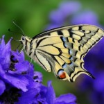 gold butterfly on purple flower