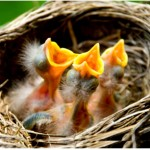 three baby robins with open beaks