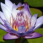 purple water lily with bee