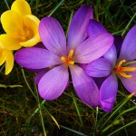 purple and gold crocuses